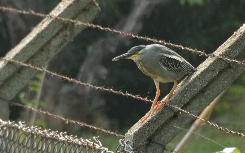 Striated heron / Mangrovereiger