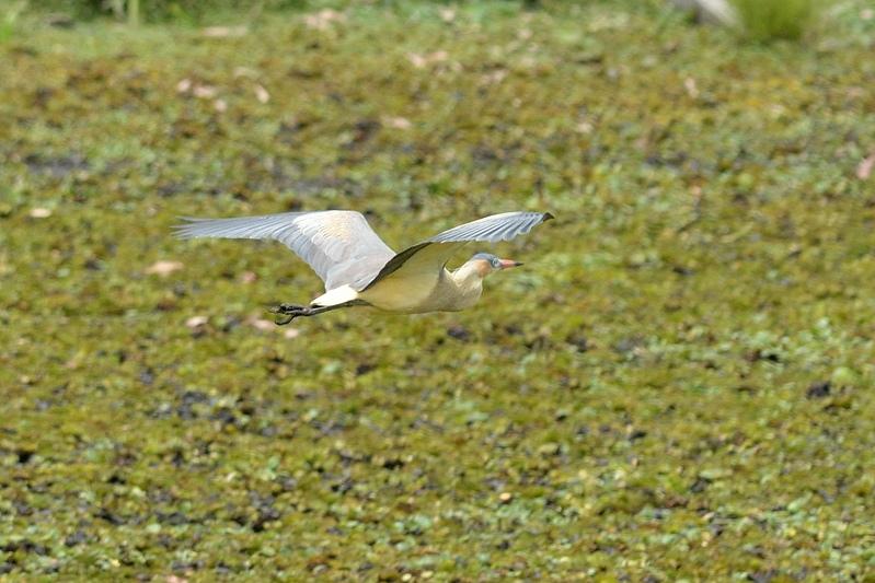 Whistling heron (Fluitreiger)