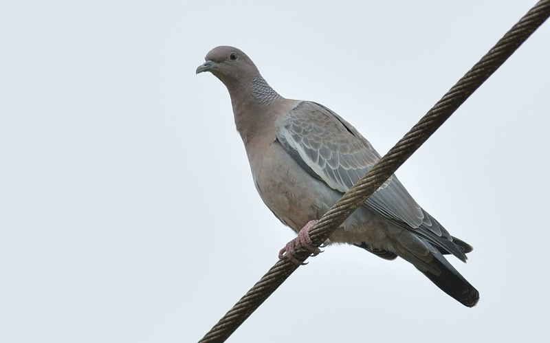 picazuro pigeon (Picazuroduif)