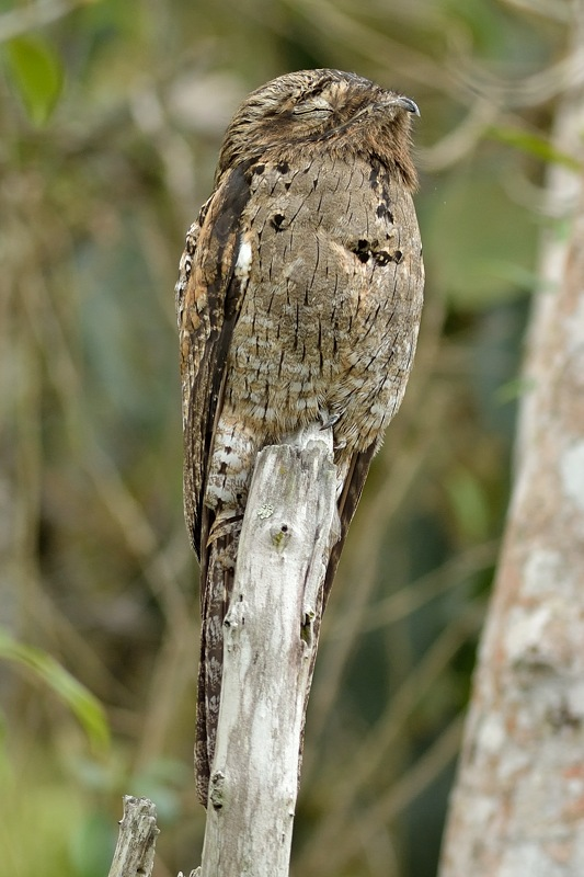 Common potoo (Grijze reuzennachtzwaluw)