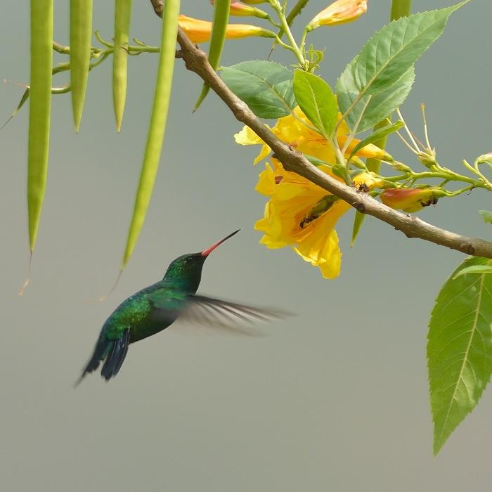 Glittering-bellied Emerald (Goudbuiksmaragdkolibrie)