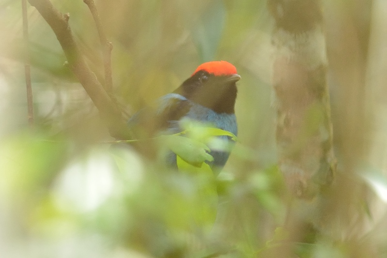 blue manakin (zwaluwstaartmanakin)
