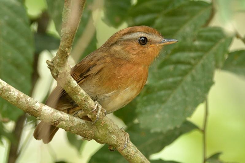 Rufous gnateater (Rosse muggeneter)