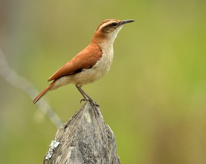 Band-tailed hornero (Witbandovenvogel)