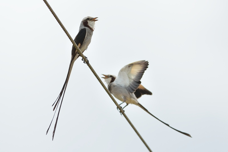 Streamer-tailed Tyrant (Lintstaarttiran)
