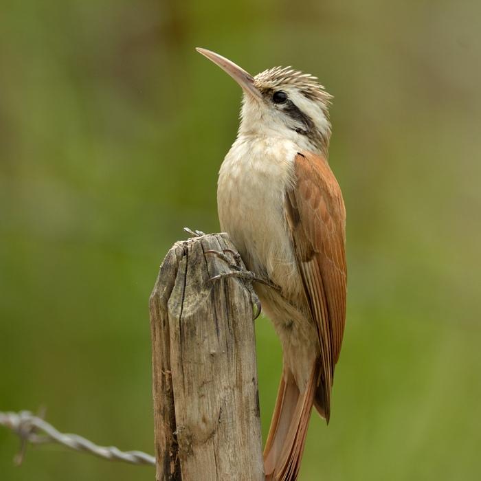 Narrow-billed Woodcreeper (Wenkbrauwmuisspecht)