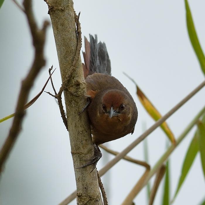 Orange-brested thornbird (Oranjeborststekelkruin)