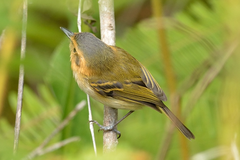 Ochre-faced Tody-Flycatcher (Bruinkeelschoffelsnavel)