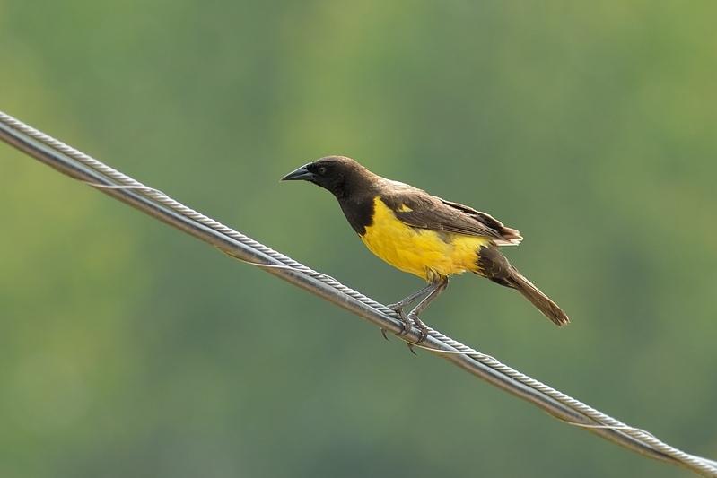 Yellow-rumped Marshbird (Geelstuitwatertroepiaal)
