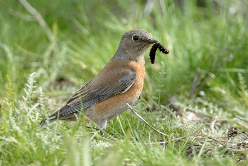 Western Bleubird