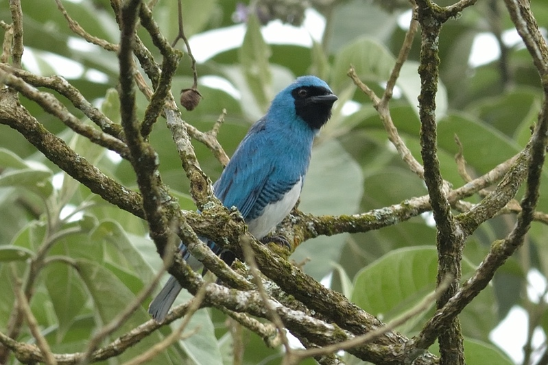 swallow tanager (zwaluwtangare)