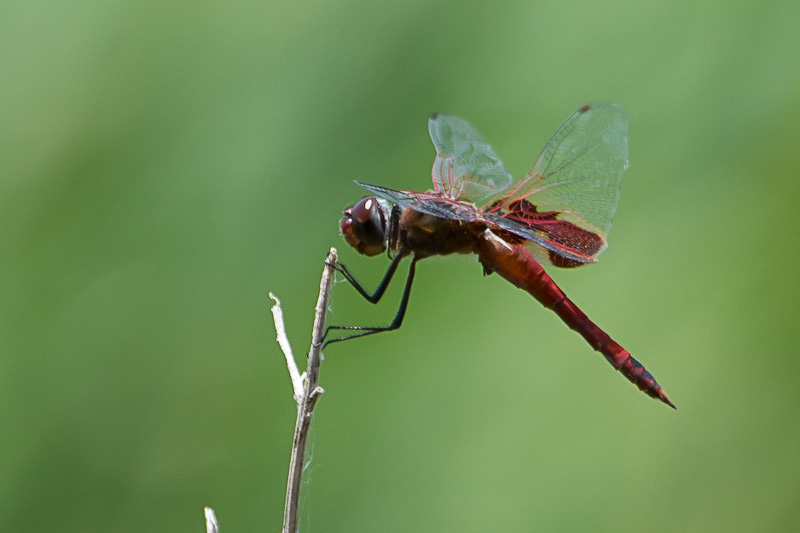 red saddlebags